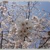 桜きれ~ぃヽ(*・ω・)人(・ω・*)ノの画像