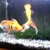 金魚ちゃんの水換えとおばちゃんの咆哮の画像
