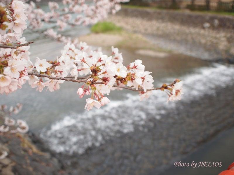 『ケセラセラ~』と、いきましょいっ!☆彡-4/9宇治川桜3