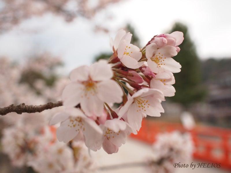 『ケセラセラ~』と、いきましょいっ!☆彡-4/9宇治川桜2