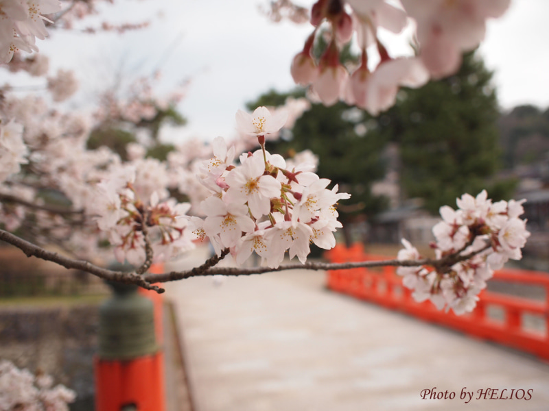 『ケセラセラ~』と、いきましょいっ!☆彡-4/9宇治川桜1