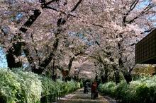 にさんとねさん-桜4