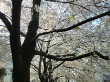 $松尾祐孝の音楽塾&作曲塾~音楽家・作曲家を夢見る貴方へ~-遊歩道の桜吹雪と葉桜3