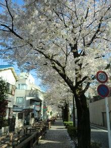 松尾祐孝の音楽塾&作曲塾~音楽家・作曲家を夢見る貴方へ~-遊歩道の桜吹雪と葉桜1