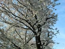 松尾祐孝の音楽塾&作曲塾~音楽家・作曲家を夢見る貴方へ~-遊歩道の桜吹雪と葉桜5