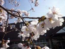 内山家具 スタッフブログ-20120414sakura01