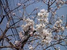 内山家具 スタッフブログ-20120414sakura02
