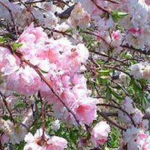 桜に宿る神様★