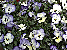 現代黄表紙-パンジー紫