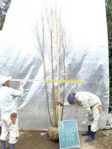 溝口植木農園☆山採り樹木ブログカタログ-061ヒメシャラ