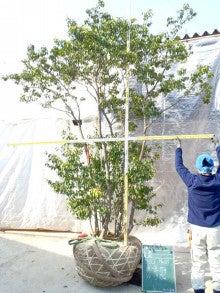 溝口植木農園☆山採り樹木ブログカタログ-067ソヨゴ