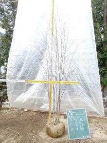 溝口植木農園☆山採り樹木ブログカタログ-057アズキナシ