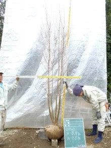 溝口植木農園☆山採り樹木ブログカタログ-065ヒメシャラ