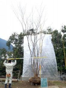 溝口植木農園☆山採り樹木ブログカタログ-100ヤマモミジ