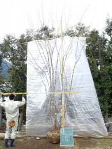 溝口植木農園☆山採り樹木ブログカタログ-107アオダモ