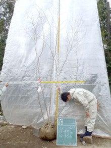 溝口植木農園☆山採り樹木ブログカタログ-113ヤマモミジ