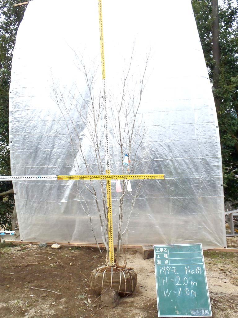 溝口植木農園☆山採り樹木ブログカタログ-069アオダモ