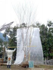 溝口植木農園☆山採り樹木ブログカタログ-109アオダモ