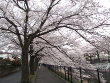 *となりのこころ*-桜