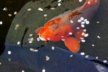 「ぎゃらりーたちばな」更新日記-お堀の鯉