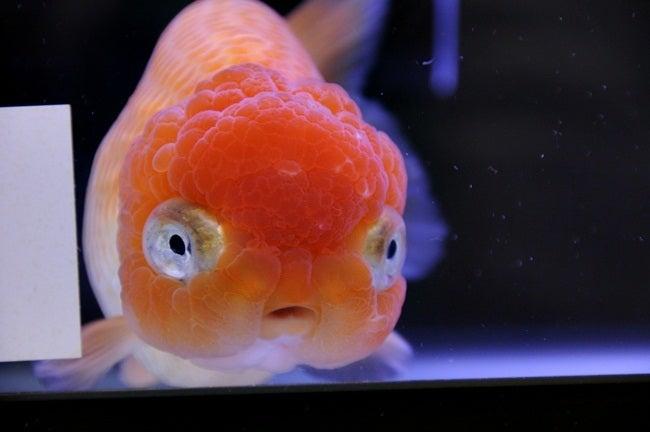 第30回 2012年 日本観賞魚フェア...