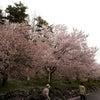 弘法山の桜の画像