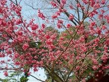 夫婦世界旅行-妻編-提灯桜