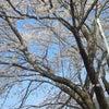 桜(´ψψ`)の画像