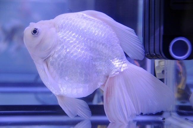 金魚日和 -第30回 2012年 日本観賞魚フェア