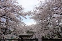 おらがまち!!地域情報ブログです。-桜写真