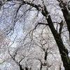 桜も見納め ~私の好きな場所~の画像