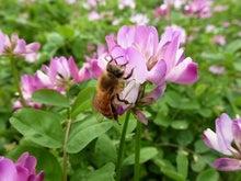 さなごうちらいふ-ミツバチ&レンゲ
