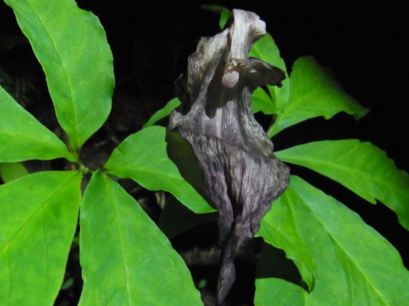 『明治大学植物保護研究部』のブログ♪