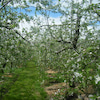 * 花祭り  松永わい化りんご園様へ今年もの画像