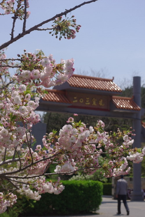 中国大連生活・観光旅行ニュース**-旅順203高地での花見