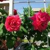 大好きな薔薇をみての画像