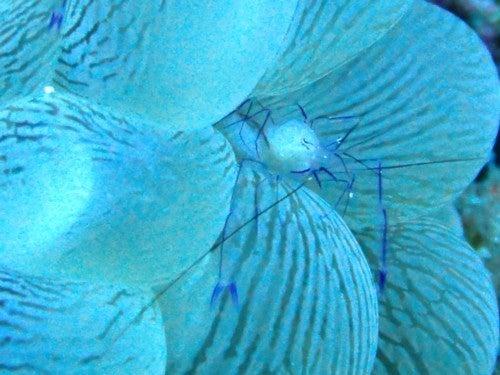 $奄美大島ダイビング魚ブログ-バブルコーラルシュリンプ 奄美 ダイビング