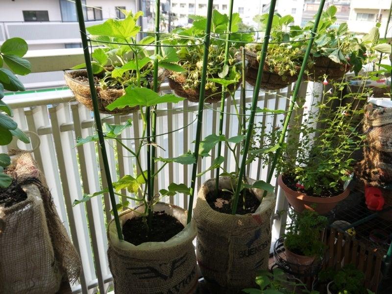 きゅうり の 育て 方 支柱