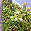 香る街路樹 シャリンバイの画像