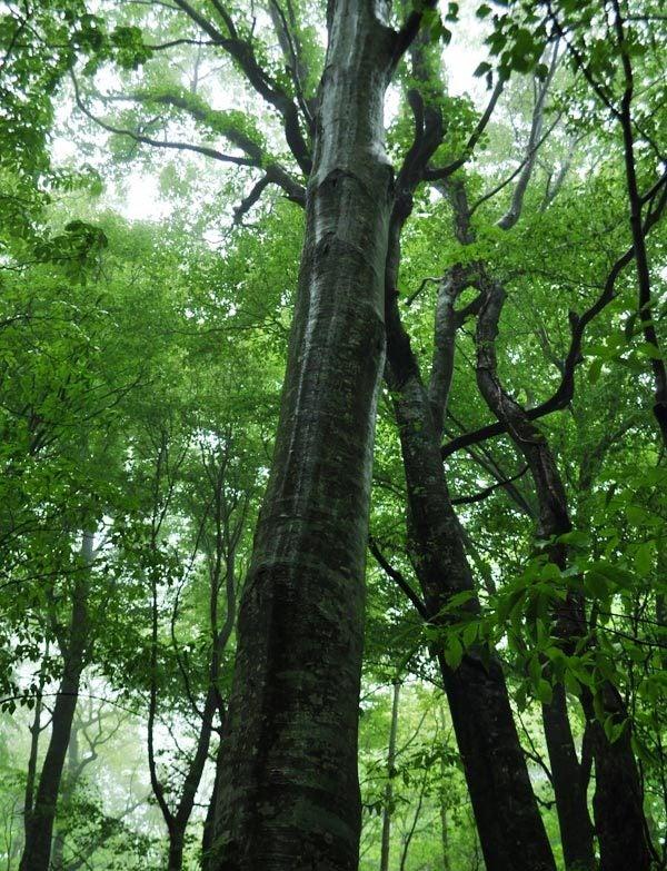 $白神山地ツアーの白神なびスタッフブログ-2012年5月中旬の白神山地「雨の十二湖」4