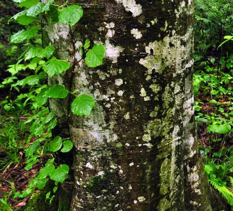 $白神山地ツアーの白神なびスタッフブログ-2012年5月中旬の白神山地「雨の十二湖」9