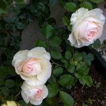 バラが咲いてきた~。