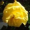 日差しに黄色のバラが金色に映えの画像