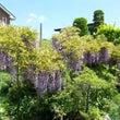 諏訪市 藤の花が咲い…