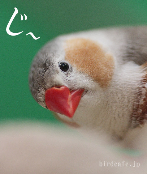 ようこそ!とりみカフェ!!~鳥カフェでの出来事や鳥写真~-じっとりキンカチョウ