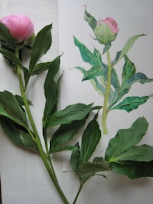ヨウのブログ-つぼみ芍薬