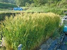 耕作放棄地をショベルで畑に開拓!週2日家庭菜園有機野菜栽培の記録 byウッチー-120521小麦現状