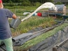 耕作放棄地をショベルで畑に開拓!週2日家庭菜園有機野菜栽培の記録 byウッチー-120522ショウガの定植08