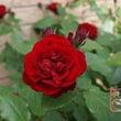 今年のバラ(春)