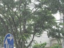 岐阜・本郷の並木通り-五月の降ってきた雨